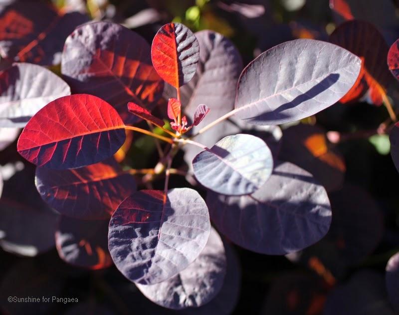 Eurasian smoketree (Cotinus coggygria)