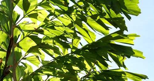Palmier caryota urens flore de l le de la r union for Entretien jardin reunion