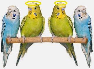 Le due cocorite femmine e i pappagallini maschi