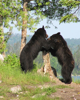 Black Bears in Northern Ontario Canada