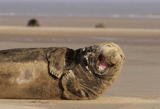 A Walrus Laughing