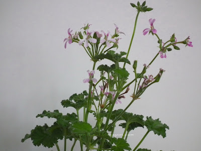 Pink Nutmeg scented pelargonium flowers and leaves