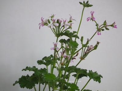 Pink Nutmeg scented pelargonium flowers and leaves