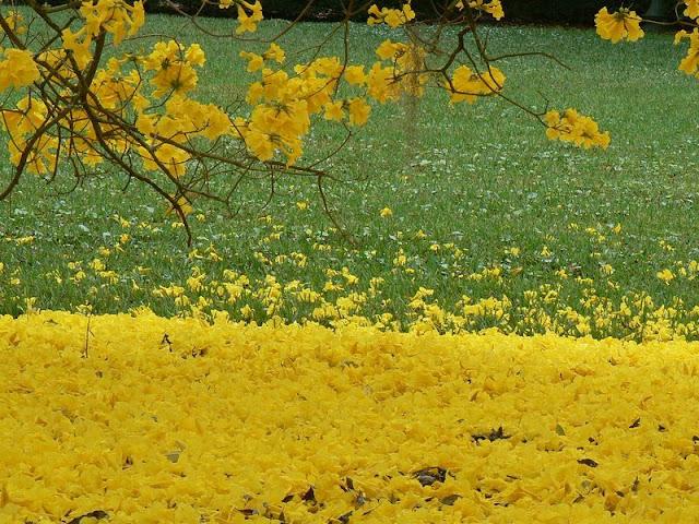 Fotos De Arvores Com Flores Amarelas - Planta Mundo Plantas e sementes raras do Brasil e do