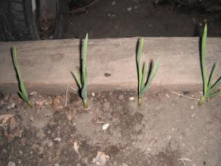 Garlic: Natural fence for Rabbits