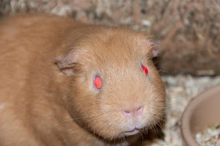 Red eyed guinea pig
