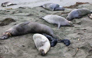 male elephant seal with females & young