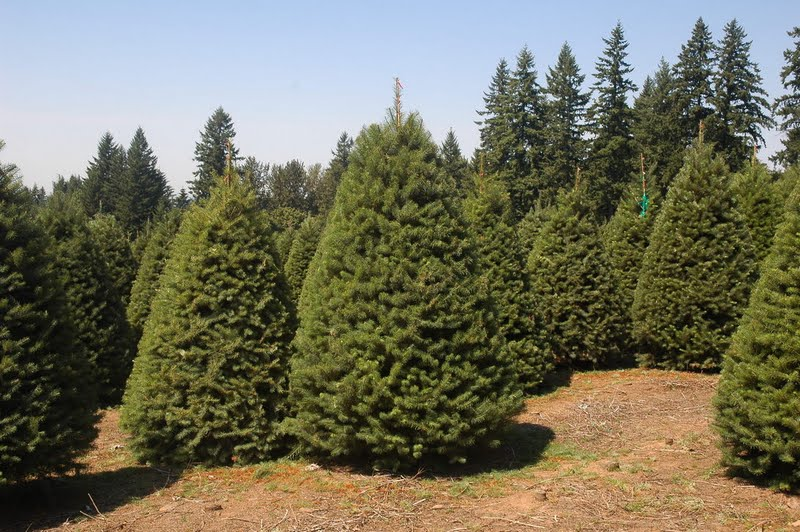 Planting Under Pine Trees : Jeffco gardener what does grow under pine trees by nancy