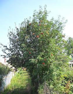 25 июля, деревце рябины