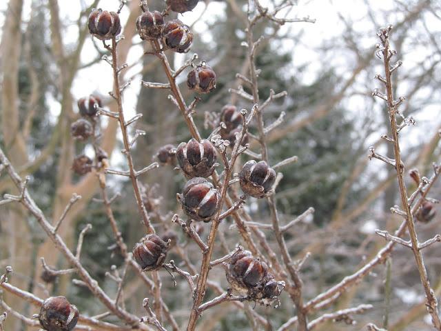 snowy buds