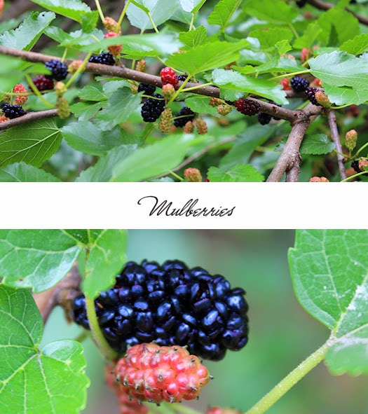 Mulberries Photos by Tori Beveridge