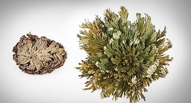 """Ανασταινόμενα Φυτά, """"Resurrection plants"""" - Άγγελος Αντωνέλλης"""