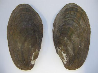 mejilon linterna oriental Lampsilis radiata