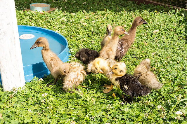 Ducklings at the Kutztown Folk Festival