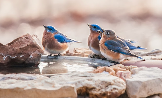 Bluebirds at Birdbath