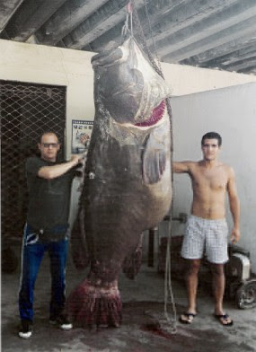 Big fishes of the world grouper goliath epinephelus itajara for Goliath grouper fish
