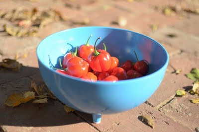 Habanero Chillies in Blue Bowl