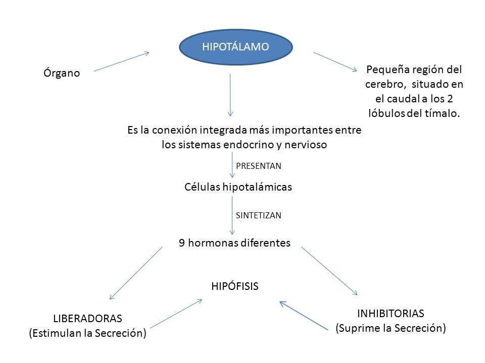 Función Hormonal: Esquema relación Hipotálamo - Hipófisis