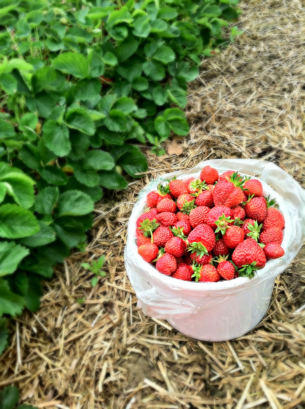 strawberry picking at waltz strawberry patch + announcing #strawberryweek!