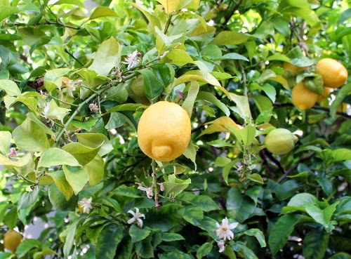 lemon tree with fruit and flowers
