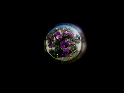 Fotografia colorida. Imagem circular no centro de um retângulo preto. Preenchendo quase toda a área circular, vê-se pequena árvore de folhas verdes escuras, com várias flores grandes cor-de-rosa e brancas, distribuídas na copa arredondada, não se vê o tronco. As flores da frente estão maiores, ampliadas, é a distorção do efeito da lente. Abaixo da árvore grama verde. Atrás da árvore, na área superior da imagem circular, vê-se parte de janelas e telhado de uma casa grande e o céu azul.