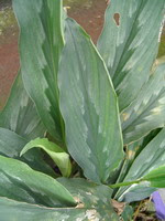 gambar tanaman kunyit putih