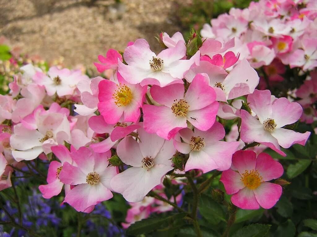 Beautiful little pink flowers latest unique hd wallpapers mightylinksfo