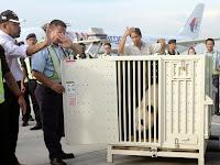 Panda Gergasi China Selamat Tiba !!