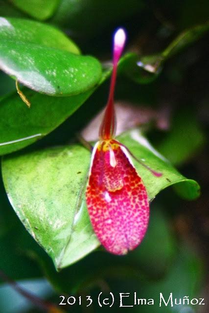 Restrepia guttulata. Orquideas del Perú