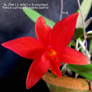 SL Jinn - Laelia mileri x Sophronitis coccinea do blogdabeteoreuideas