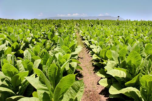 Tobacco Plantation Rel...