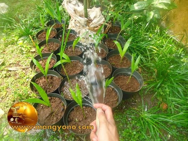 FOTO: Langkah Penyiraman bibit palem - palem yang sudah dipindah kedalam pot