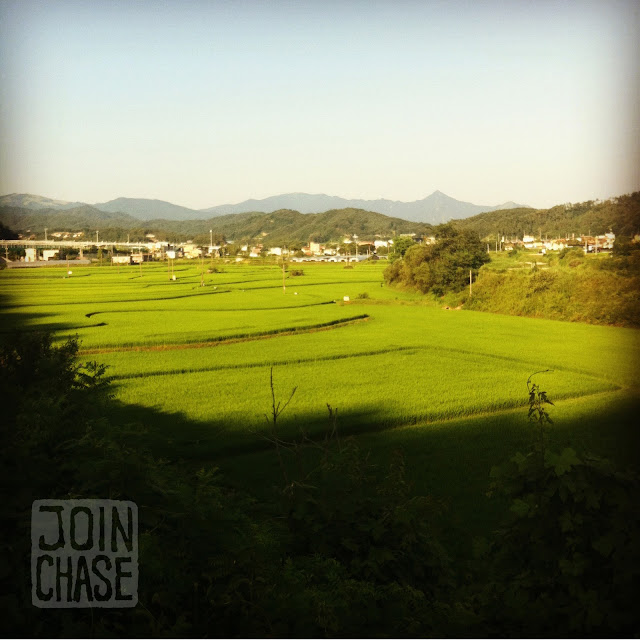 Rice paddies along the bike path from Seoul to Busan in South Korea.