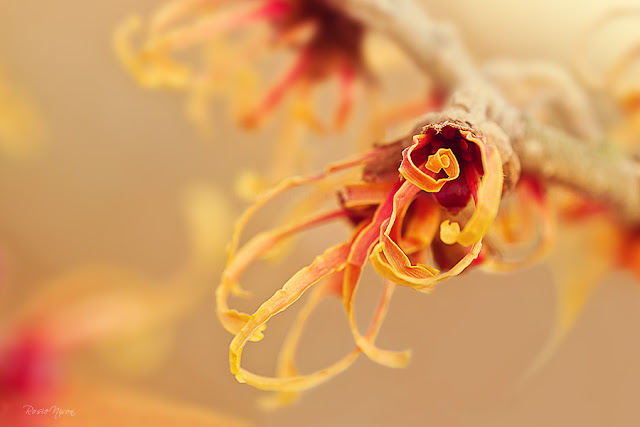 macro photography Witch hazel hamamelis intermedia Jelena