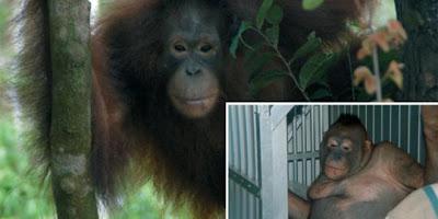 Pony Orangutan Yang Dijadikan Pelacur Di Rimba Borneo