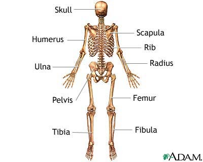 ms. boughey's 3rd grade: the skeletal system - get to know your bones!, Skeleton