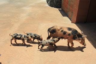 pigs-guam