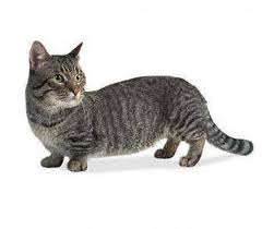 Munchkin Cat   Cat DachshundAdd Caption
