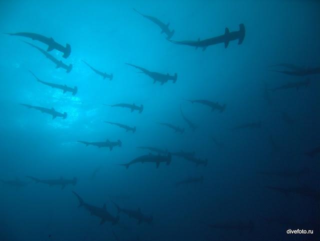 Акулы молоты стая фото