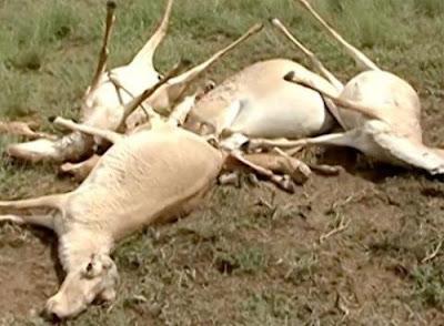 Xuất huyết nhiễm trùng ở loài linh dương Saiga