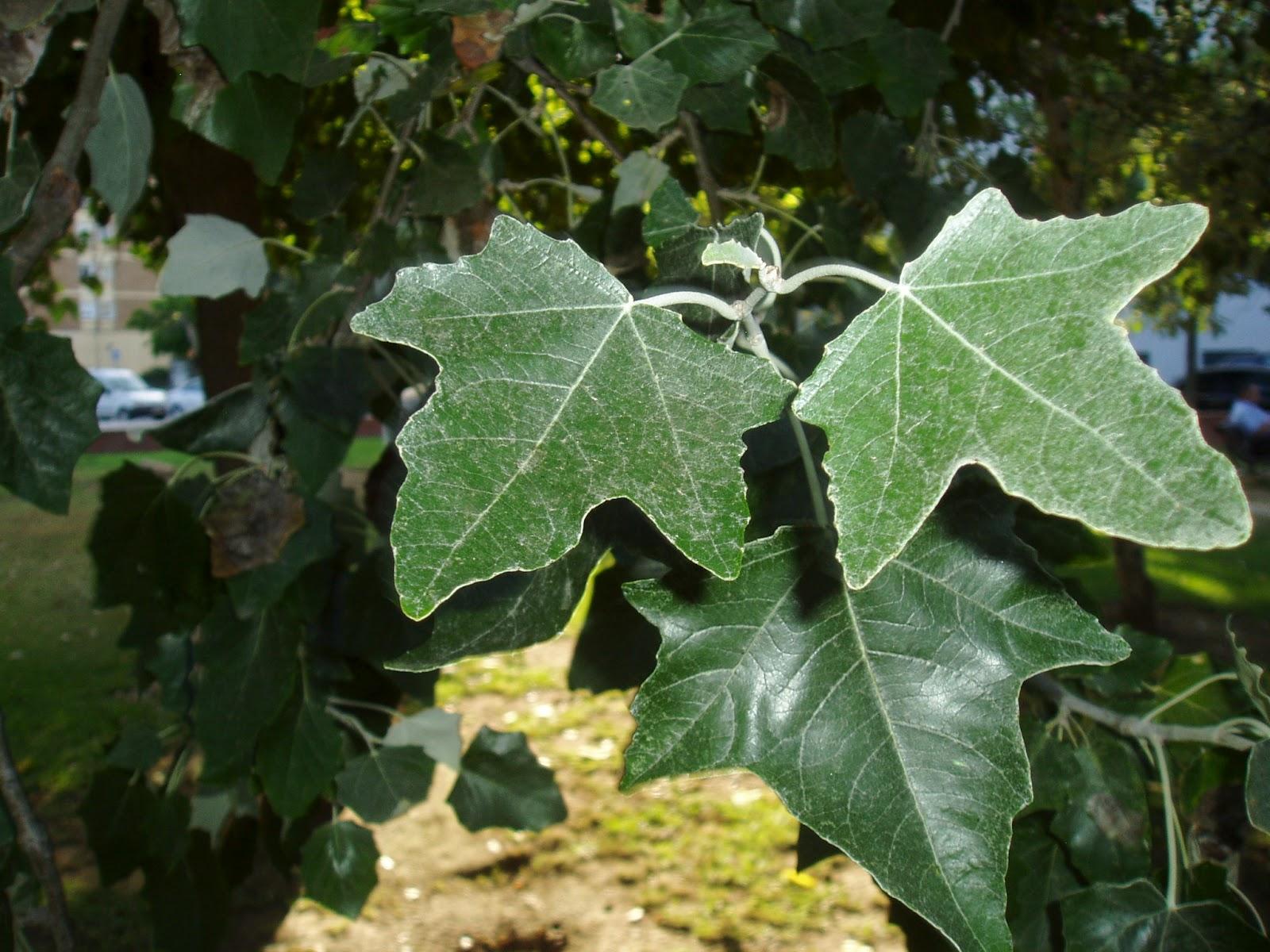 Lamo blanco populus alba plantas riomoros for Arboles de hoja perenne informacion