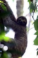 Sloth, South America