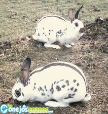 Raza de conejos enanos English Spot (Mariposa)