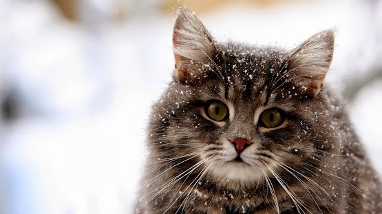 cute cat face glance snow animals hd wallpaper image photo