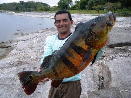 Big fishes of the world peacock bass speckled cichla for Kansas fish and game
