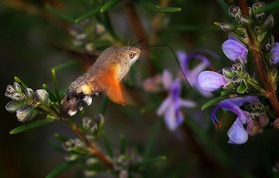 Mariposa Esfinge Colibrí - Insectos raros del bosque