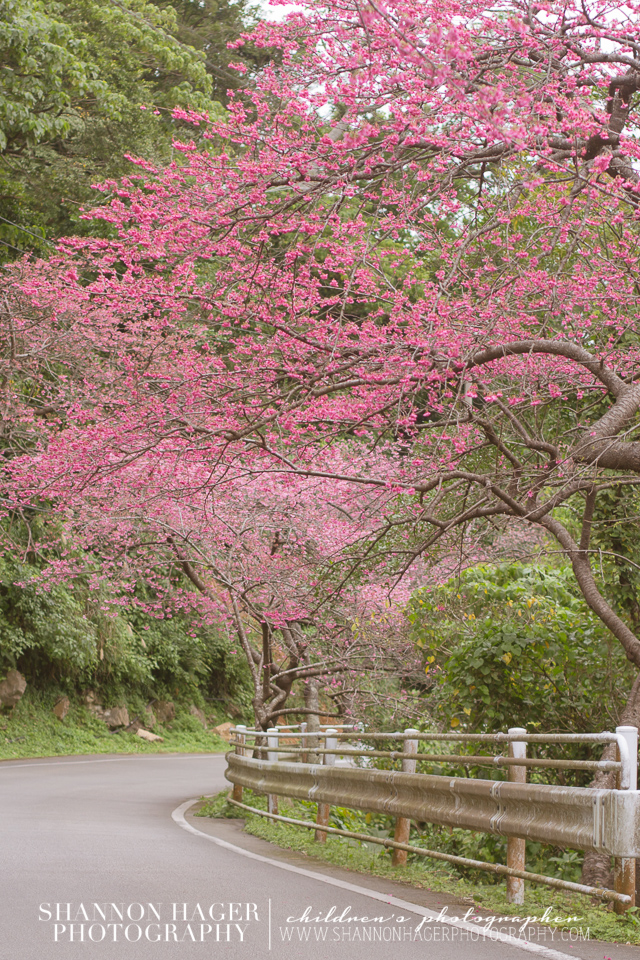 Cherry Blossoms in Okinawa by Shannon Hager Photography, Portland Photographer