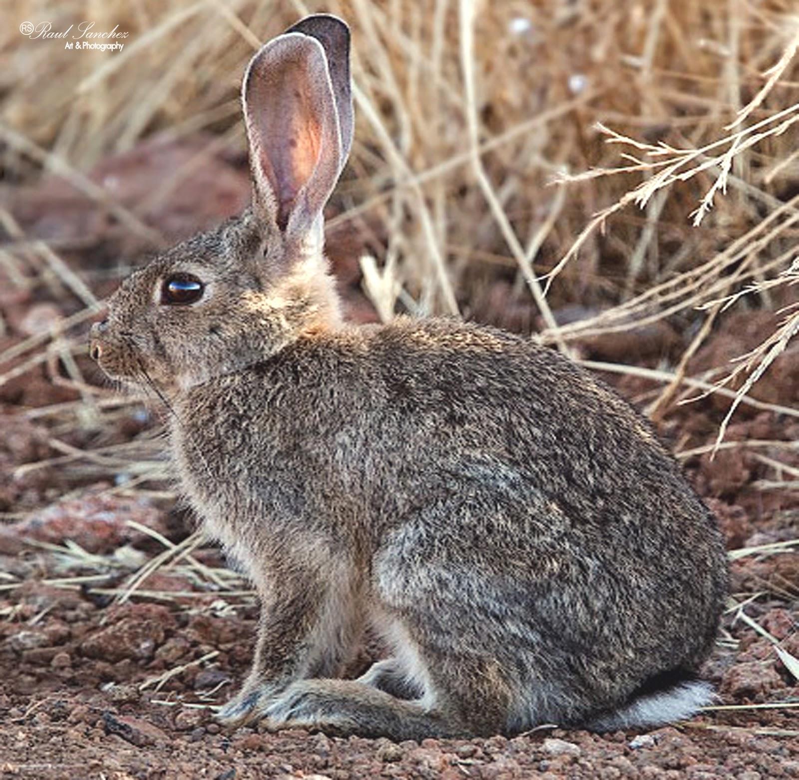 Resultado de imagen de conejo de campo