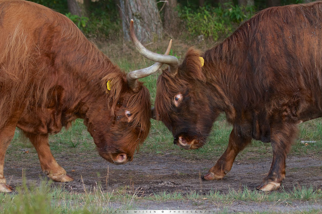 Schotse Hooglanders in gevecht - Scottish Highlander fight - Bos Taurus ss