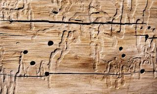 La cuentista de hamelin 2015 for Carcoma de la madera